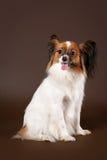 De hond van Papillion Royalty-vrije Stock Foto's