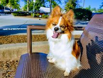De hond van Papillon Royalty-vrije Stock Afbeeldingen