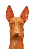 De hond van Phraoh stock foto's