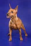 De hond van Pinscher Stock Afbeeldingen