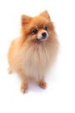 De hond van Pomeranain Stock Afbeelding
