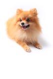 De hond van Pomeranain Royalty-vrije Stock Fotografie