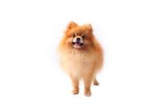 De hond van Pomeranain Stock Foto's