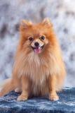 De hond van Pomeranain in de studio Stock Foto