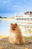 De hond van Pomeranian Stock Fotografie