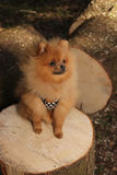 De hond van Pomeranian Royalty-vrije Stock Afbeelding