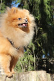 De hond van Pomeranian Royalty-vrije Stock Fotografie
