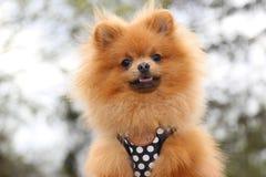 De hond van Pomeranian Royalty-vrije Stock Afbeeldingen