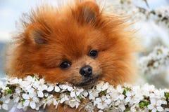 De hond van Pomeranian Royalty-vrije Stock Foto