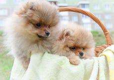 De hond van Pomeranian Stock Foto