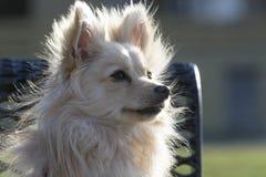 De hond van Pomeranian Stock Afbeeldingen