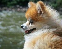 De Hond van Pomeranian bij de Rivier Stock Fotografie