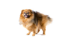 De hond van Pomeranian op witte achtergrond Stock Afbeelding
