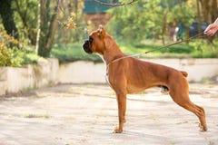 De hond van de portretbokser Groen park op achtergrond stock afbeeldingen