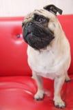 De hond van Puggy het denken Stock Foto's
