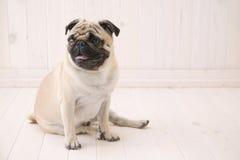De hond van Puggy zit op de vloer Stock Foto