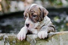 De hond van puppypitbull royalty-vrije stock afbeeldingen