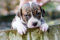 De hond van puppypitbull stock foto's