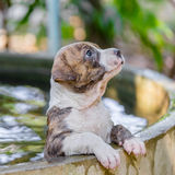 De hond van puppypitbull royalty-vrije stock foto