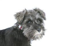 De Hond van puppyschnauzer Royalty-vrije Stock Afbeeldingen