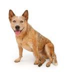 De Hond van Queensland Heeler die op Wit wordt geïsoleerdg Stock Fotografie