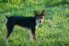 De hond van rattenterrier Stock Foto's