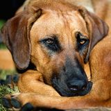 De hond van Rhodesian ridgeback Royalty-vrije Stock Afbeeldingen