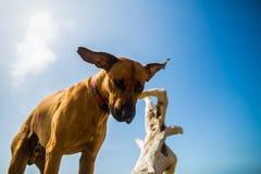 De hond van Rhodesianridgeback het zoeken Stock Foto