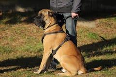 de hond van rietcorso terwijl het zitten naast zijn leraar in hond opleiding Royalty-vrije Stock Afbeelding