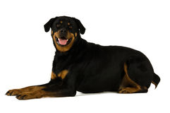 De hond van Rottweiler Stock Afbeeldingen