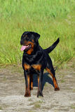 De hond van Rottweiler op het gras Stock Fotografie