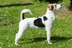 De hond van Russell Terrier van de predikant Stock Foto's