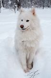 De hond van Samoed op sneeuw Stock Foto's