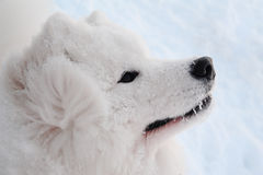 De hond van Samoyed Stock Foto