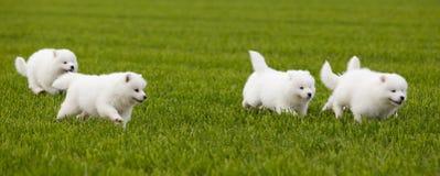 De hond van Samoyed Stock Foto's