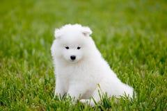 De hond van Samoyed Stock Fotografie