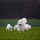 De hond van Samoyed Royalty-vrije Stock Foto