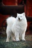 De hond van Samoyed royalty-vrije stock afbeeldingen