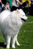 De Hond van Samoyed Stock Afbeeldingen