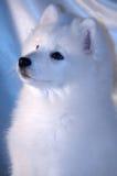 De hond van Samoyed Royalty-vrije Stock Afbeelding