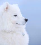De hond van Samoyed Stock Afbeelding