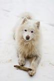 De hond van Samoyed met stok. Stock Afbeeldingen