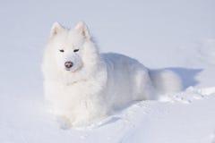 De hond van Samoyed op de sneeuw Stock Afbeeldingen