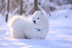 De hond van Samoyed in sneeuw Stock Foto