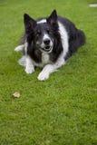 De hond van schapen Royalty-vrije Stock Fotografie