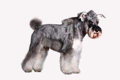 De hond van Schnauzer Stock Foto