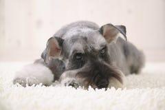 De hond van Schnauzer op het witte tapijt Royalty-vrije Stock Foto's