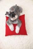 De hond van Schnauzer op het witte tapijt en het rode hoofdkussen Royalty-vrije Stock Afbeelding