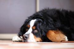 De hond van Sennenhund van Berner Stock Foto's