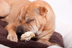 De hond van Sharpei Stock Foto
